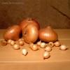 Семена СЕВОК Лук Штур БЦ 21-24 мм (крупный) 0,5 кг